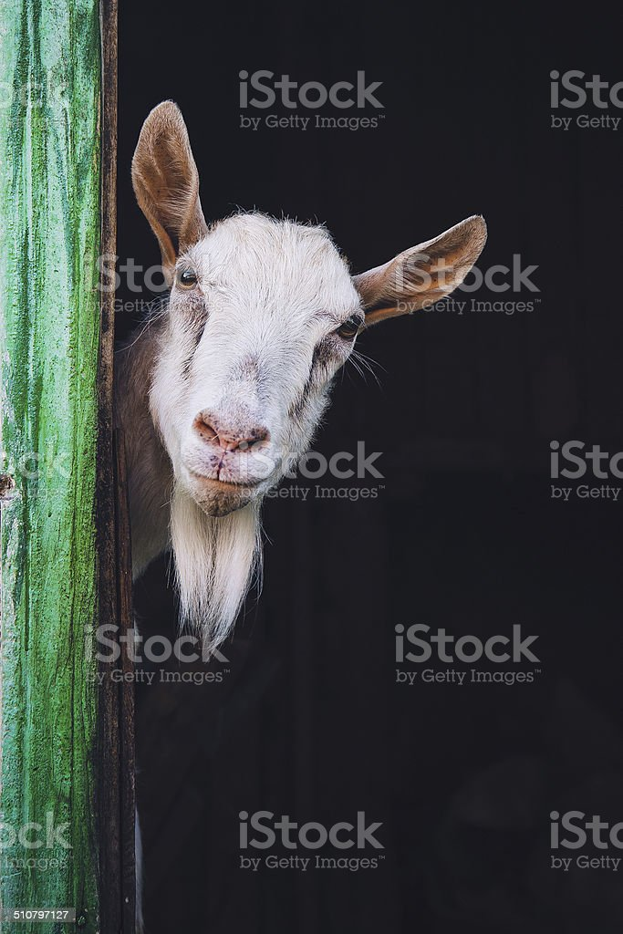 curious hornless goat stock photo