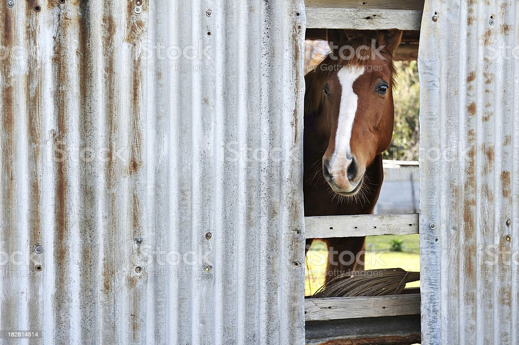 Curious horse royalty-free stock photo