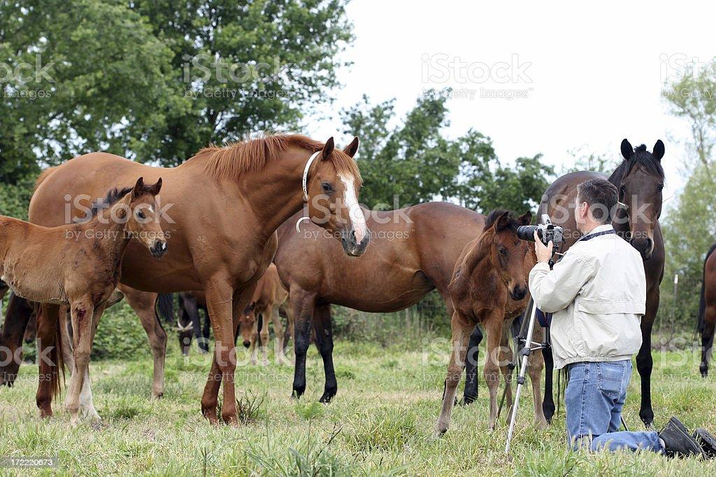 Curious Horses 2 stock photo