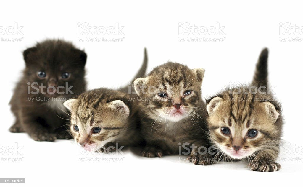 Curious kittens royalty-free stock photo