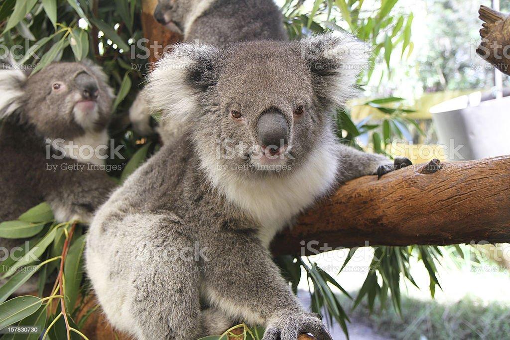 Curious Koala stock photo