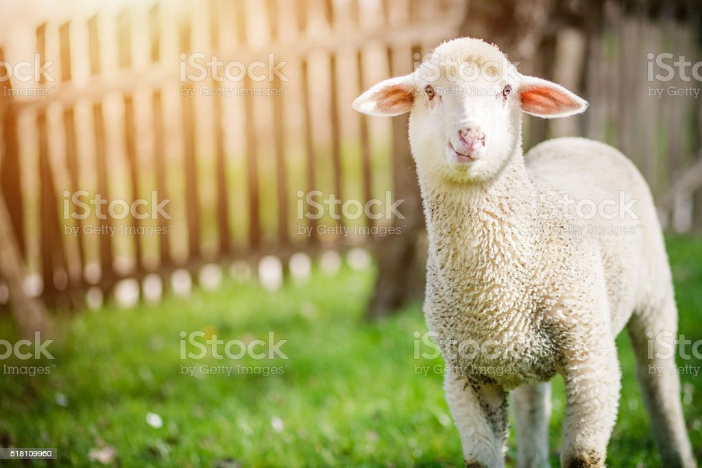 Curious lamb standing on grass stock photo