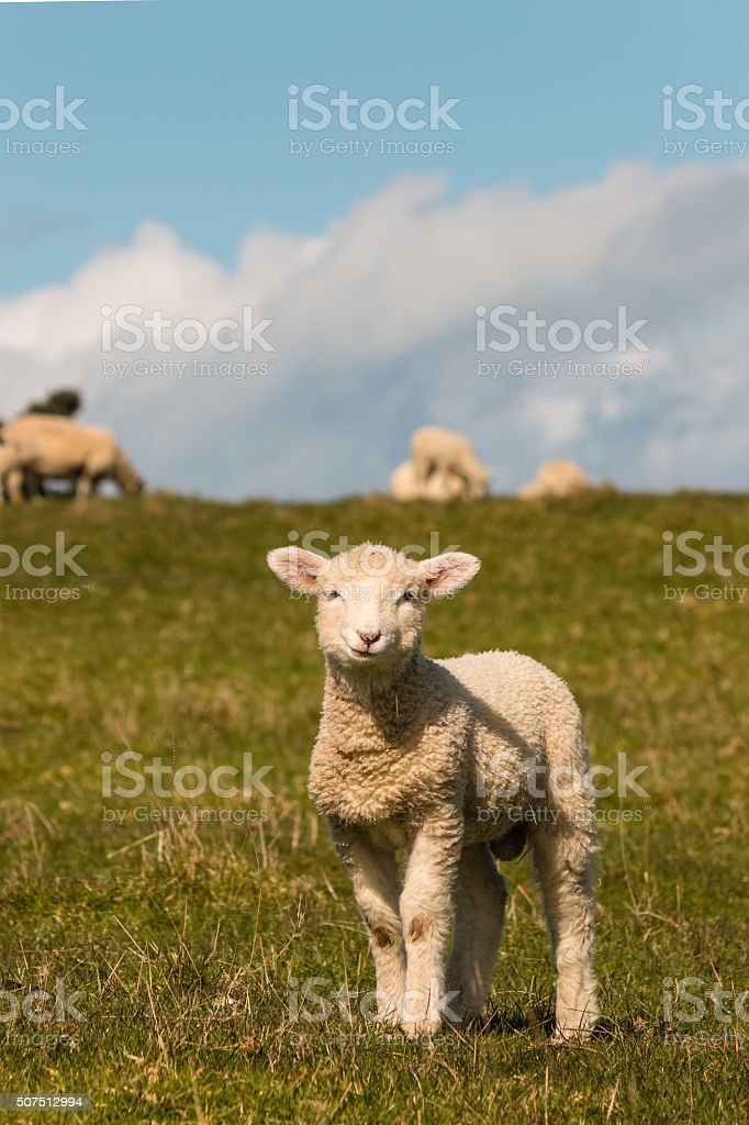 curious lamb standing on meadow stock photo