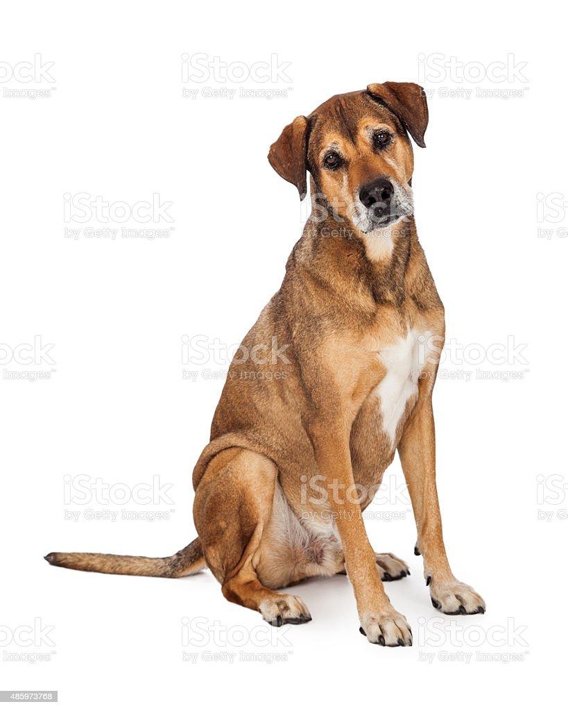 Curious Large Mixed Breed Dog Sitting stock photo