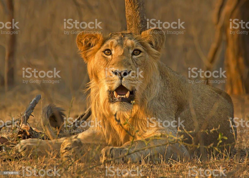 Curious Lion stock photo