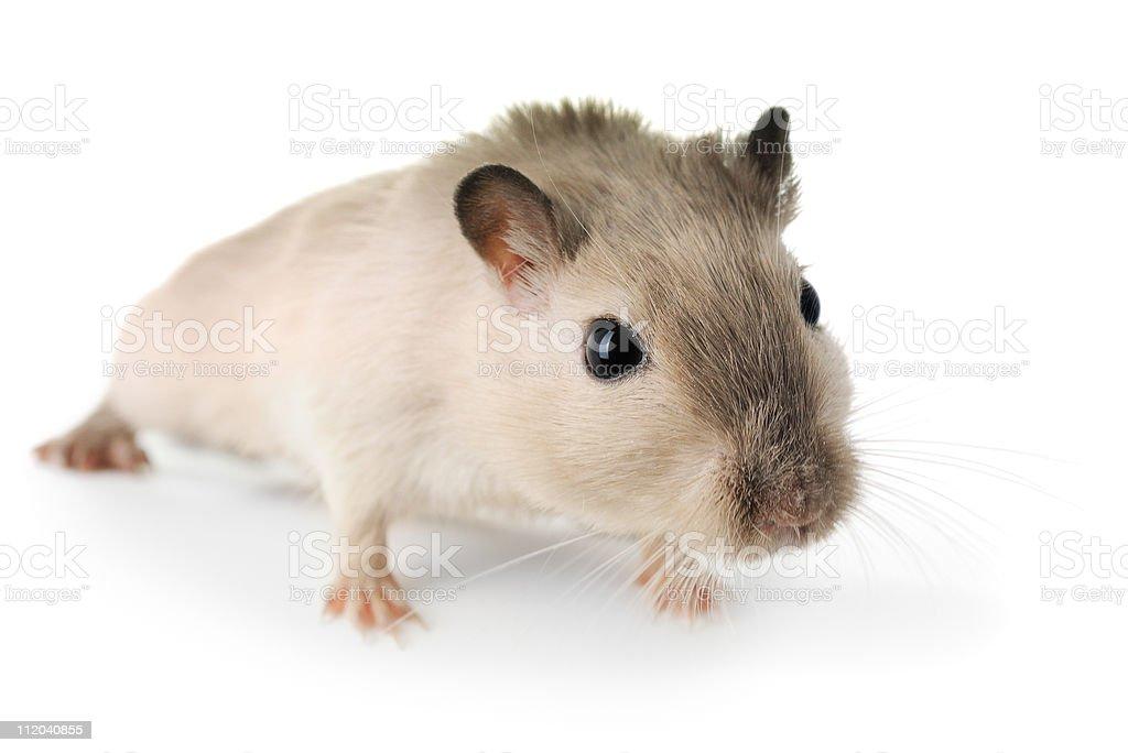 Curious little gerbil stock photo
