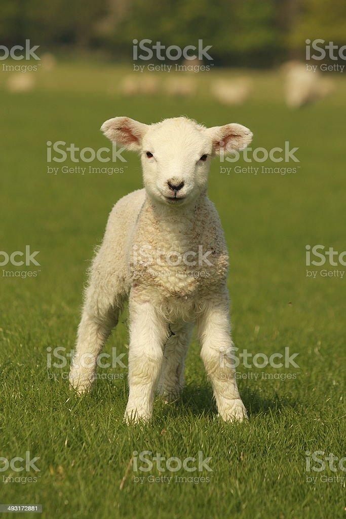 curious little lamb on green grass stock photo