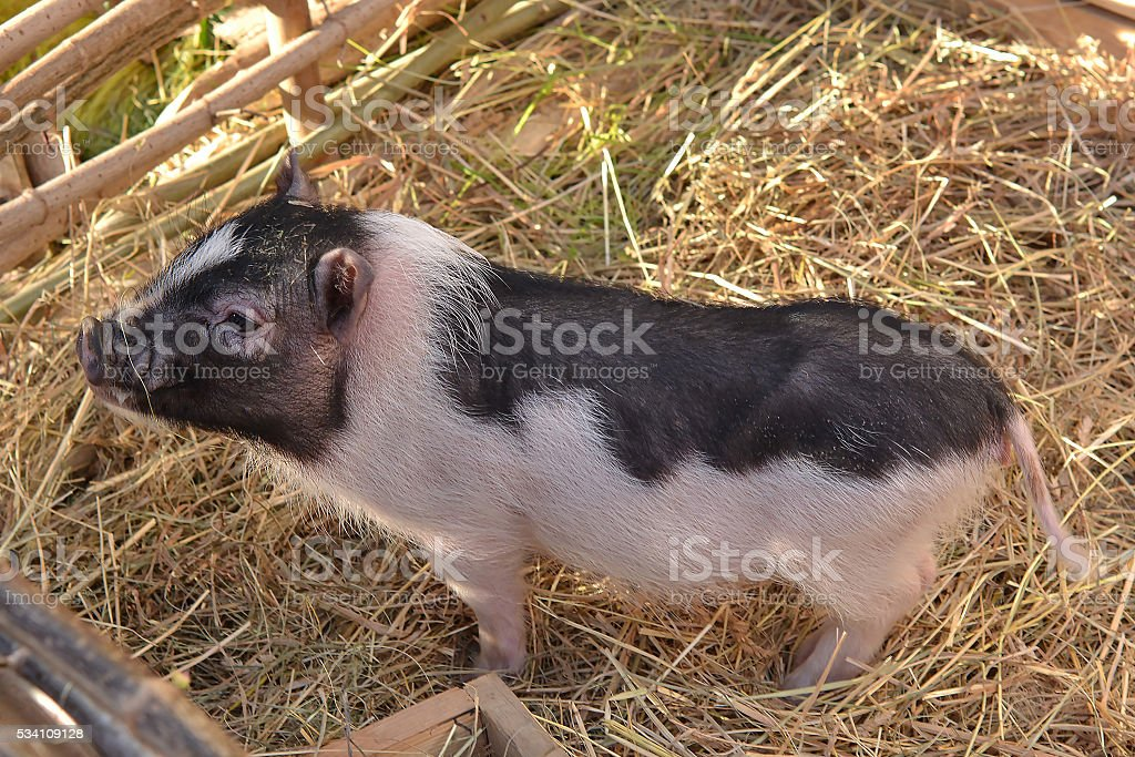 Curious little pig in the straw stock photo