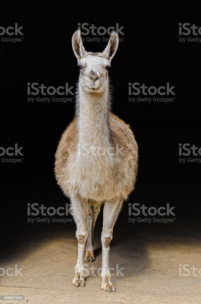 curious Llama in front of black background stock photo