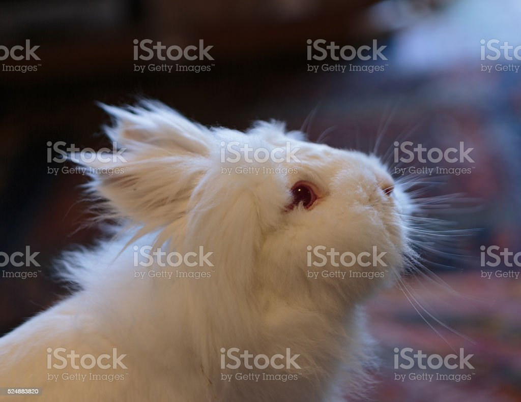 Curious looking white Lionhead rabbit stock photo