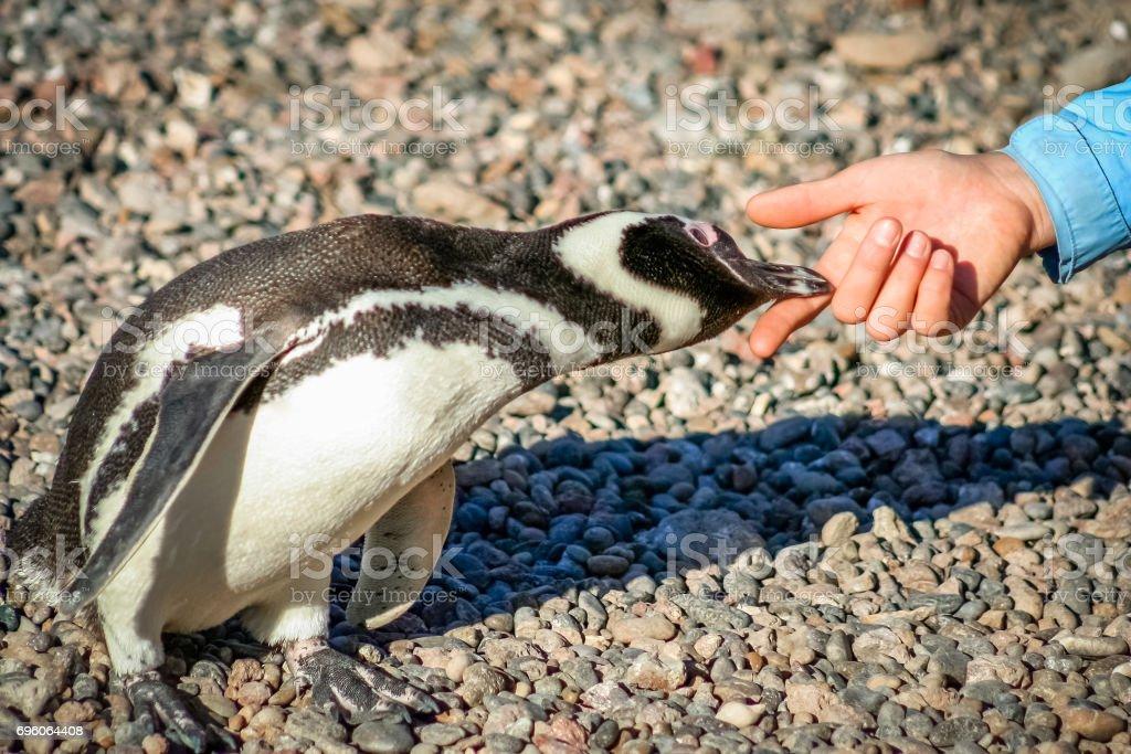 Curious Magellanic penguin stock photo