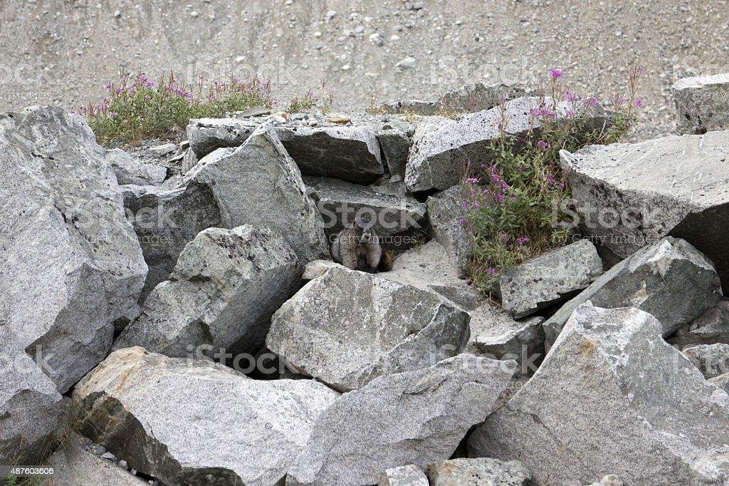 Curious Marmot stock photo