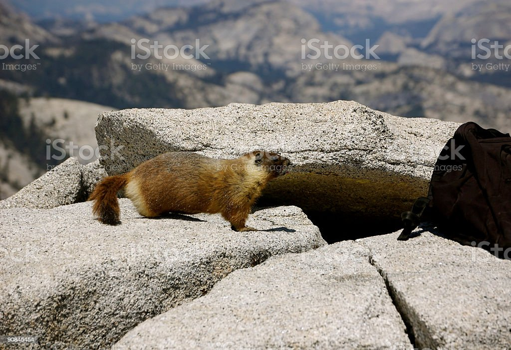 Curious Marmot stock photo