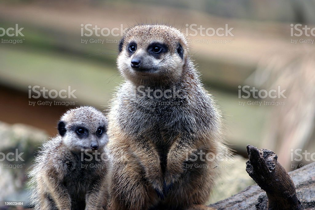 Curious Meer Cats royalty-free stock photo