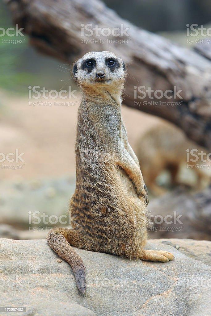 Curious Meerkat stock photo