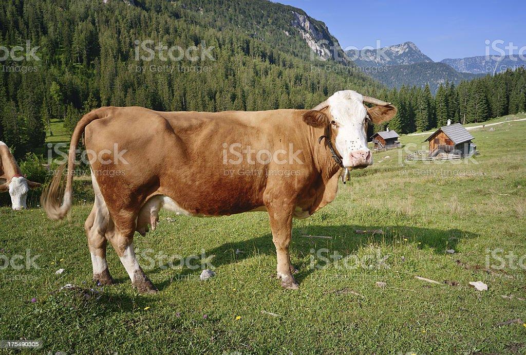 Curious Milk Cow, Alpine Pasture royalty-free stock photo