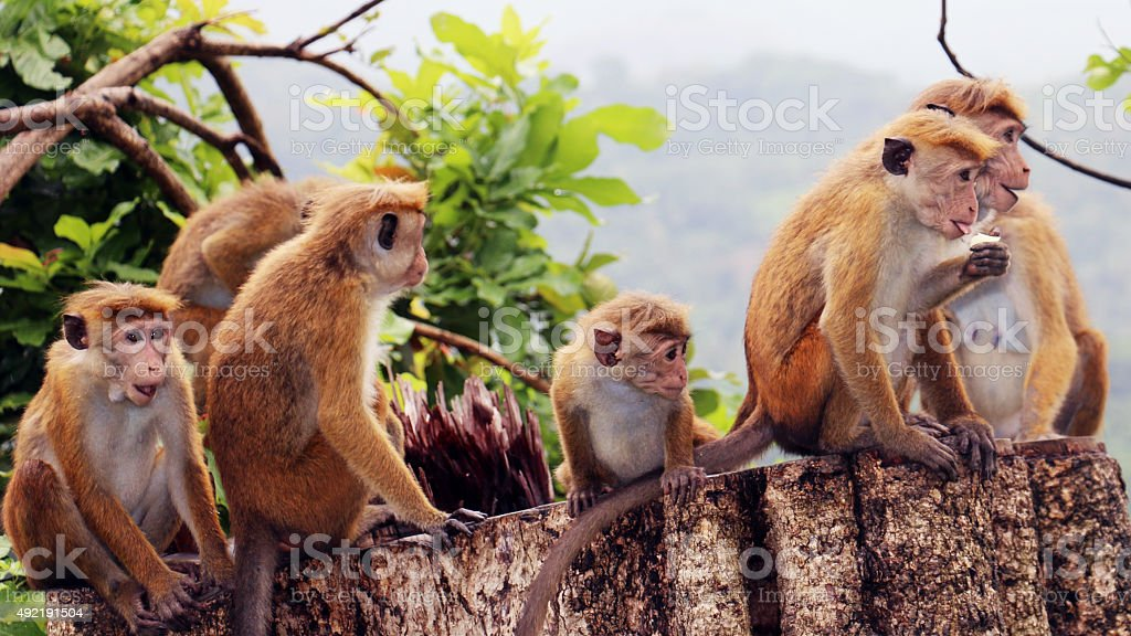 Curious Monkeys stock photo
