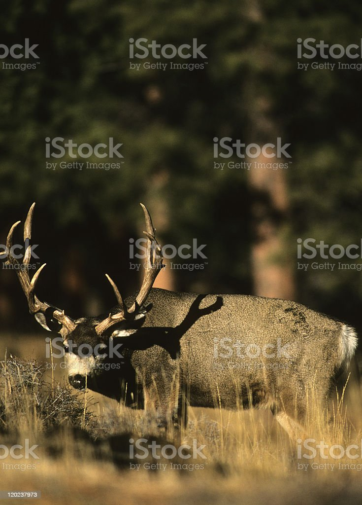 Curious Mule Deer Buck stock photo