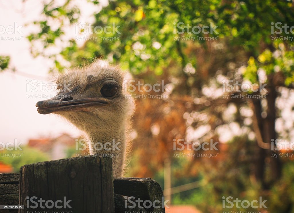 curious ostrich  looking around stock photo