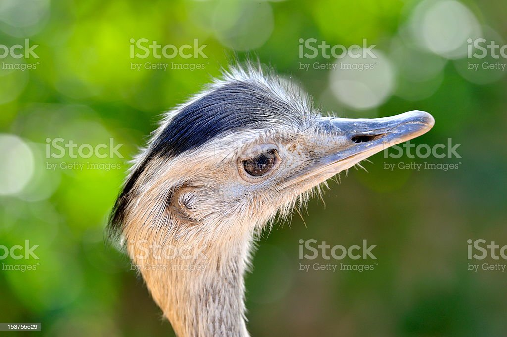 curious ostrich portrait royalty-free stock photo