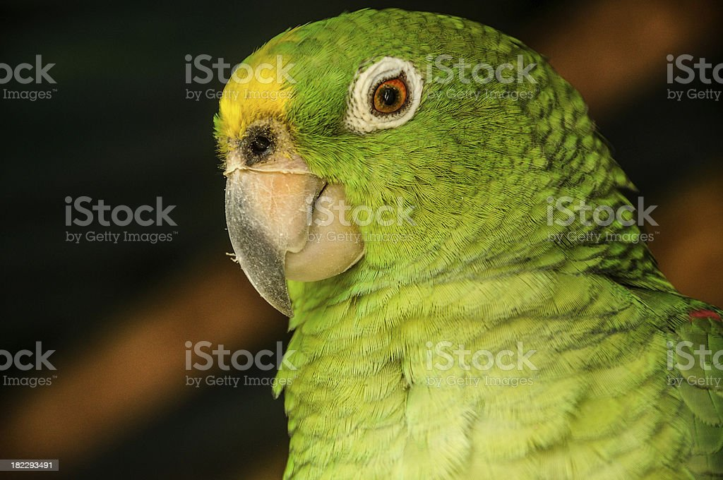 Curious Parrot looking with attention. Colombia. Tayrona National Park. royalty-free stock photo
