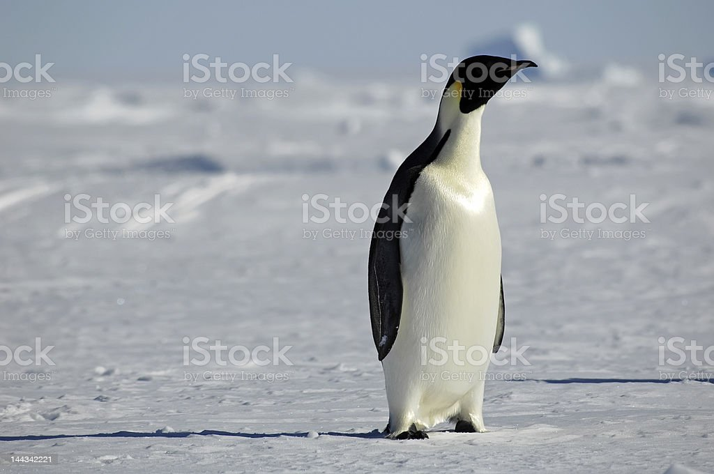 好奇心いっぱいのペンギン ロイヤリティフリーストックフォト