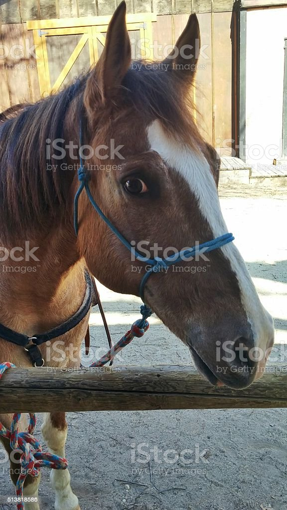Curious Personality Bridled Horse Head, Barn, Wooden Post stock photo