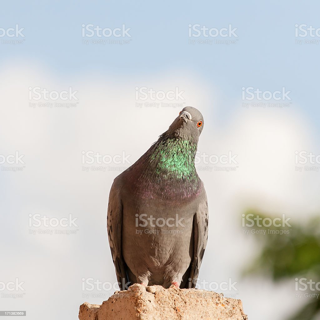 Curious pigeon royalty-free stock photo