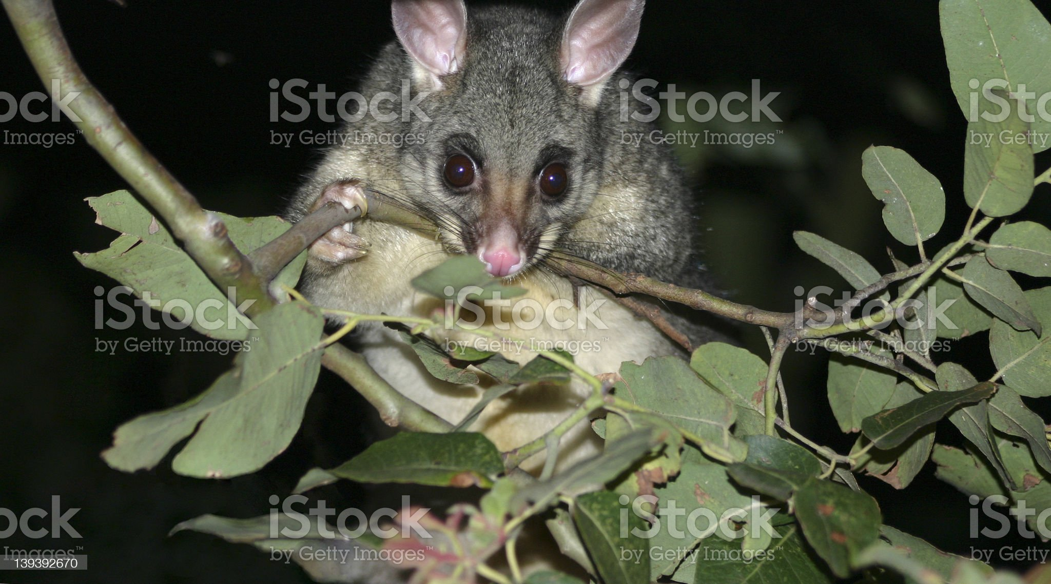 Curious Possum snooping for food royalty-free stock photo