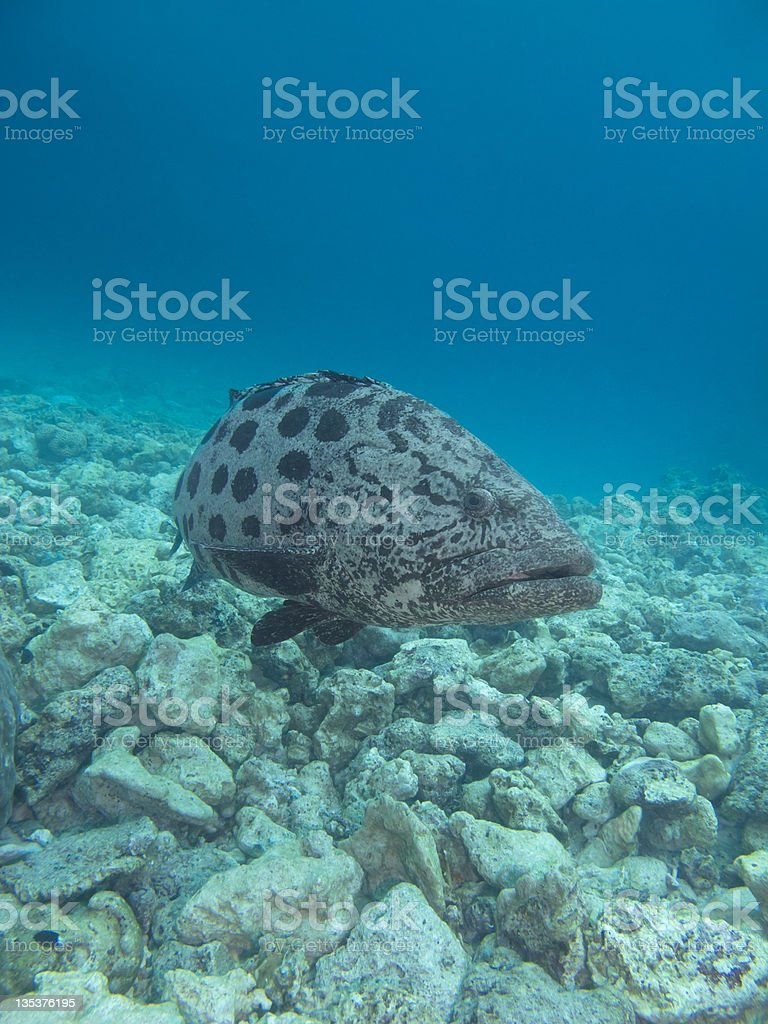 Curious potato cod stock photo
