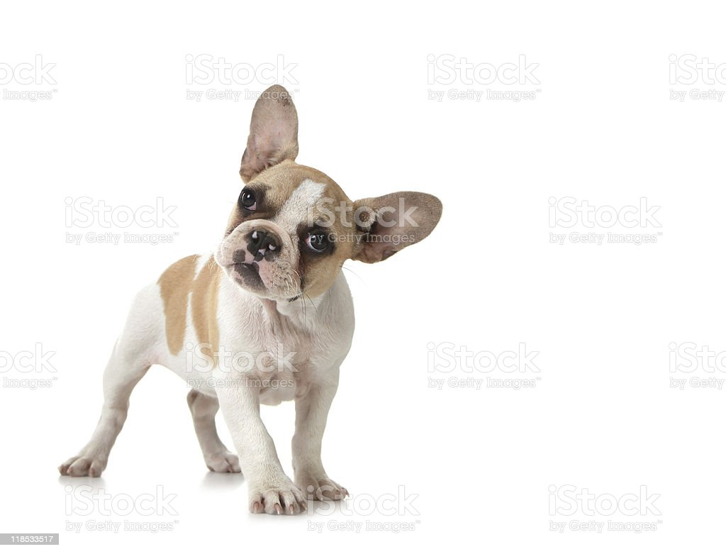Curious Puppy Dog stock photo