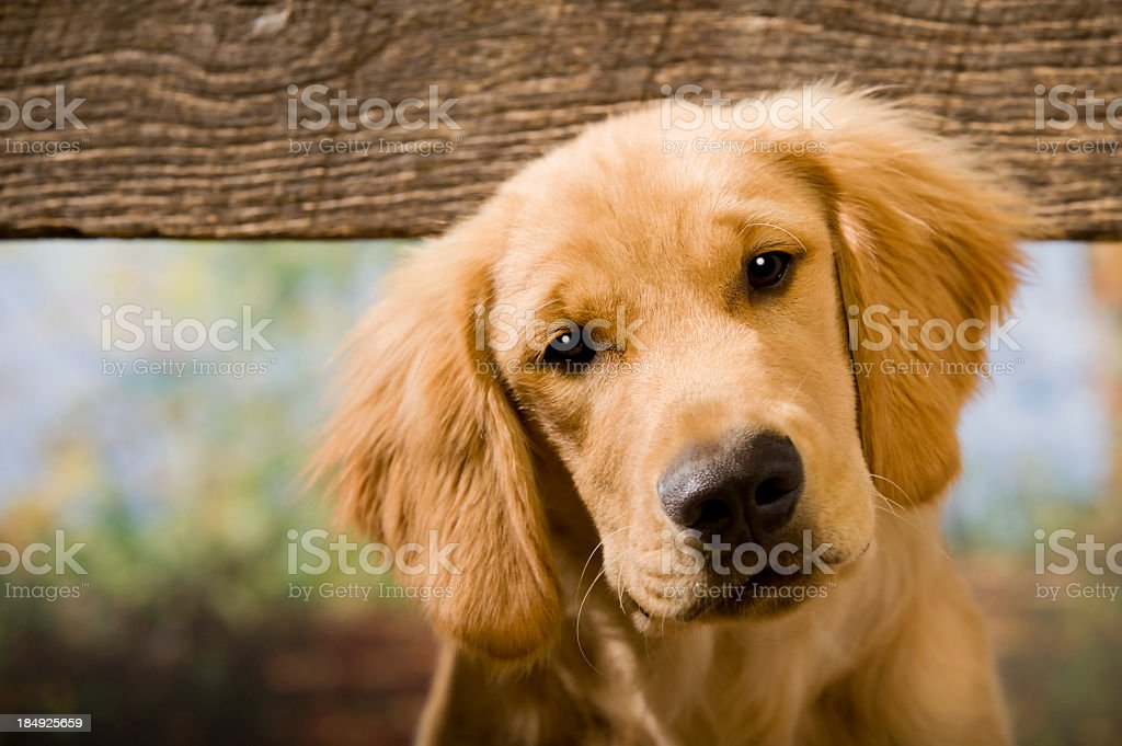 Curious Puppy looking between old fence boards stock photo