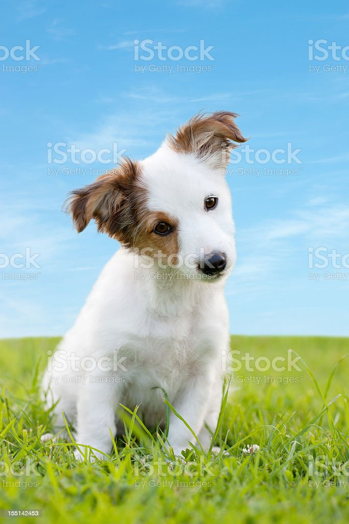 Curious Puppy royalty-free stock photo
