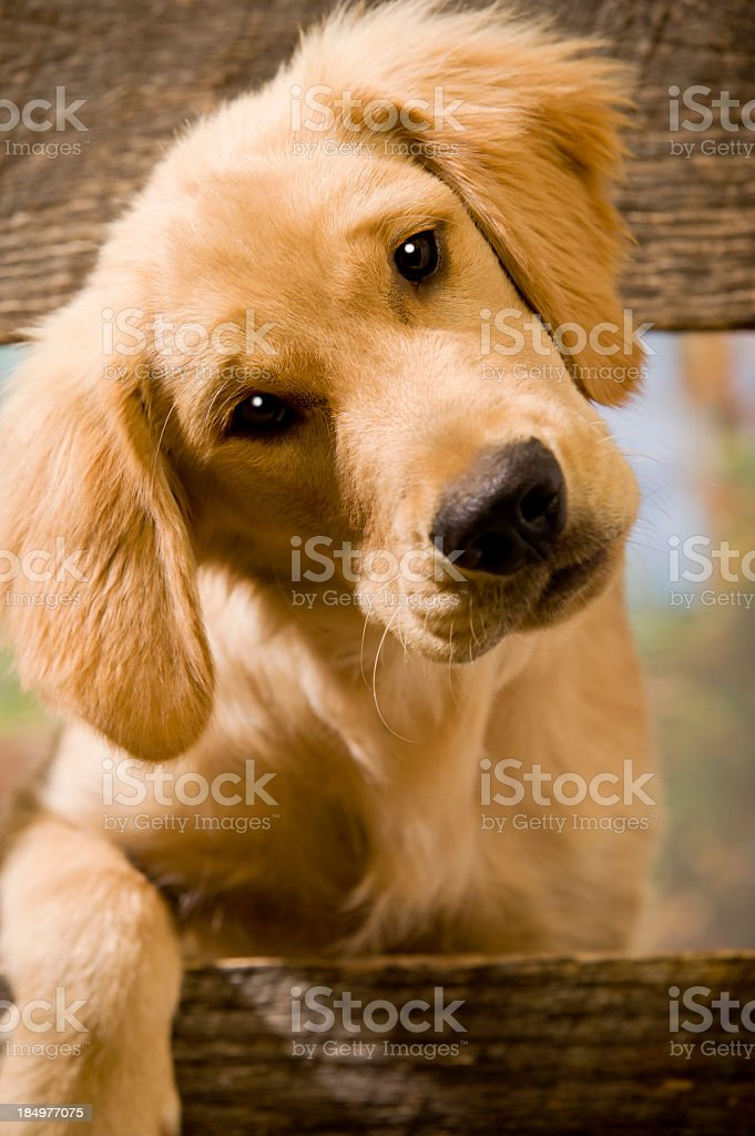 Curious Puppy stock photo