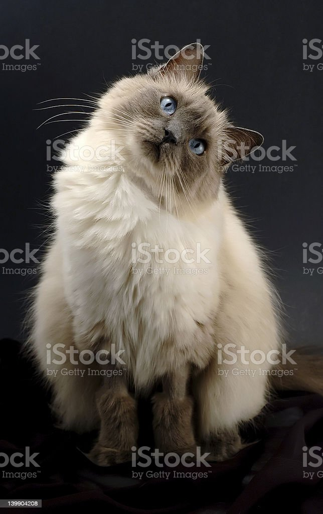 Curious ragdoll cat looking directly to the camera royalty-free stock photo