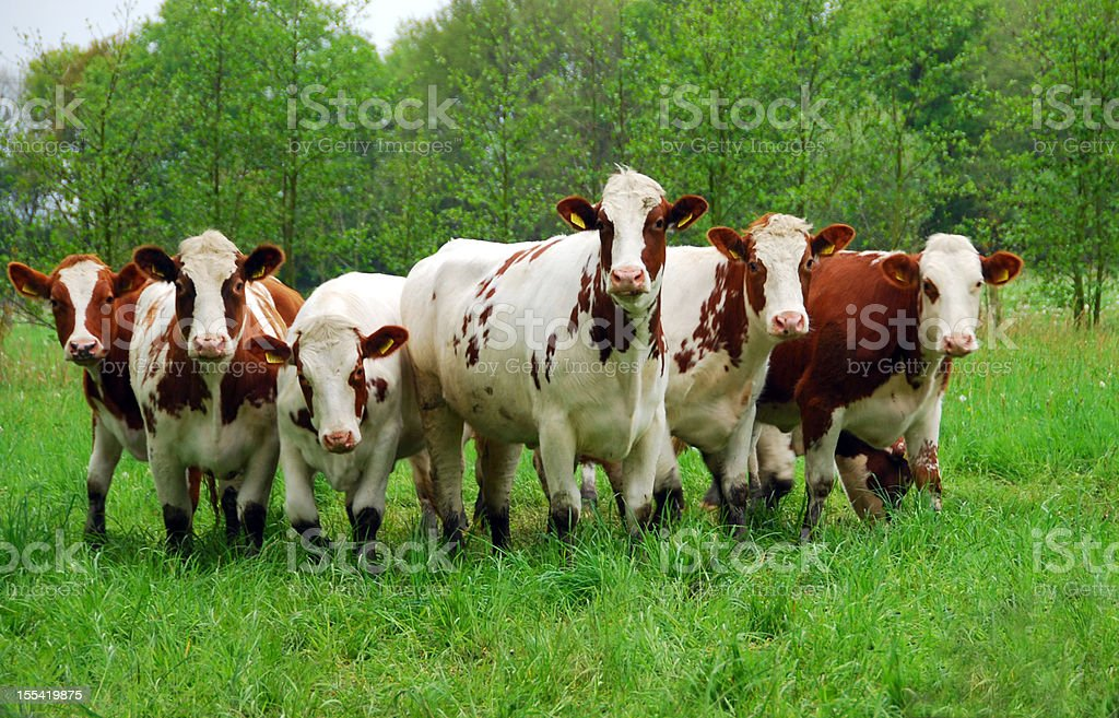Curious red and white cattle royalty-free stock photo