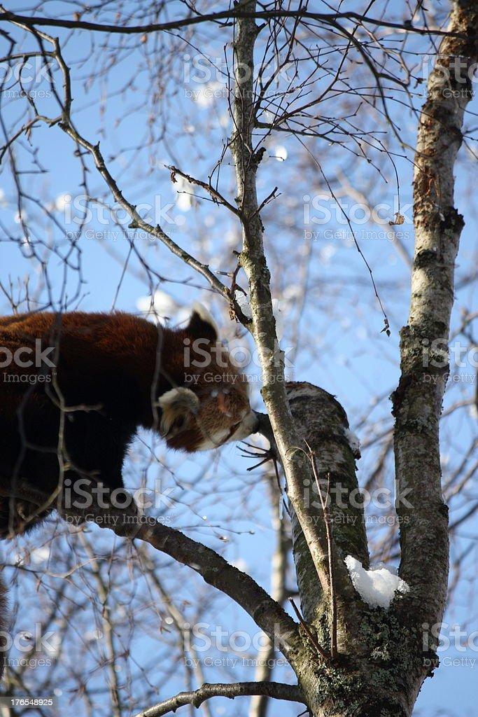 Curioso Panda rojo foto de stock libre de derechos