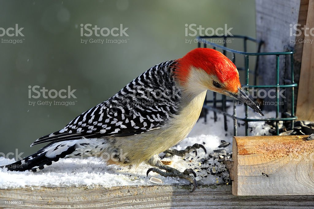 Curious Red-Bellied Woodpecker stock photo