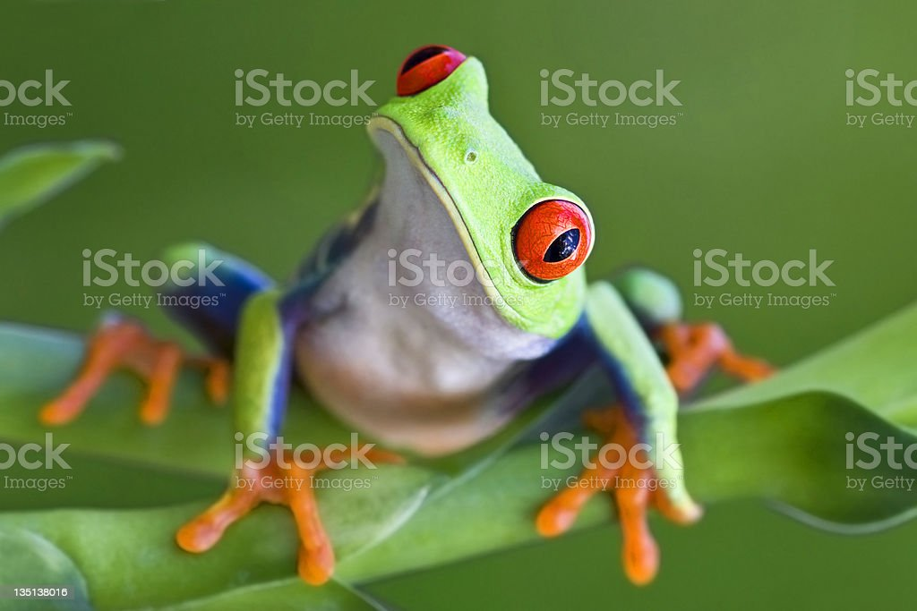 Curious Red-eyed Tree frog stock photo
