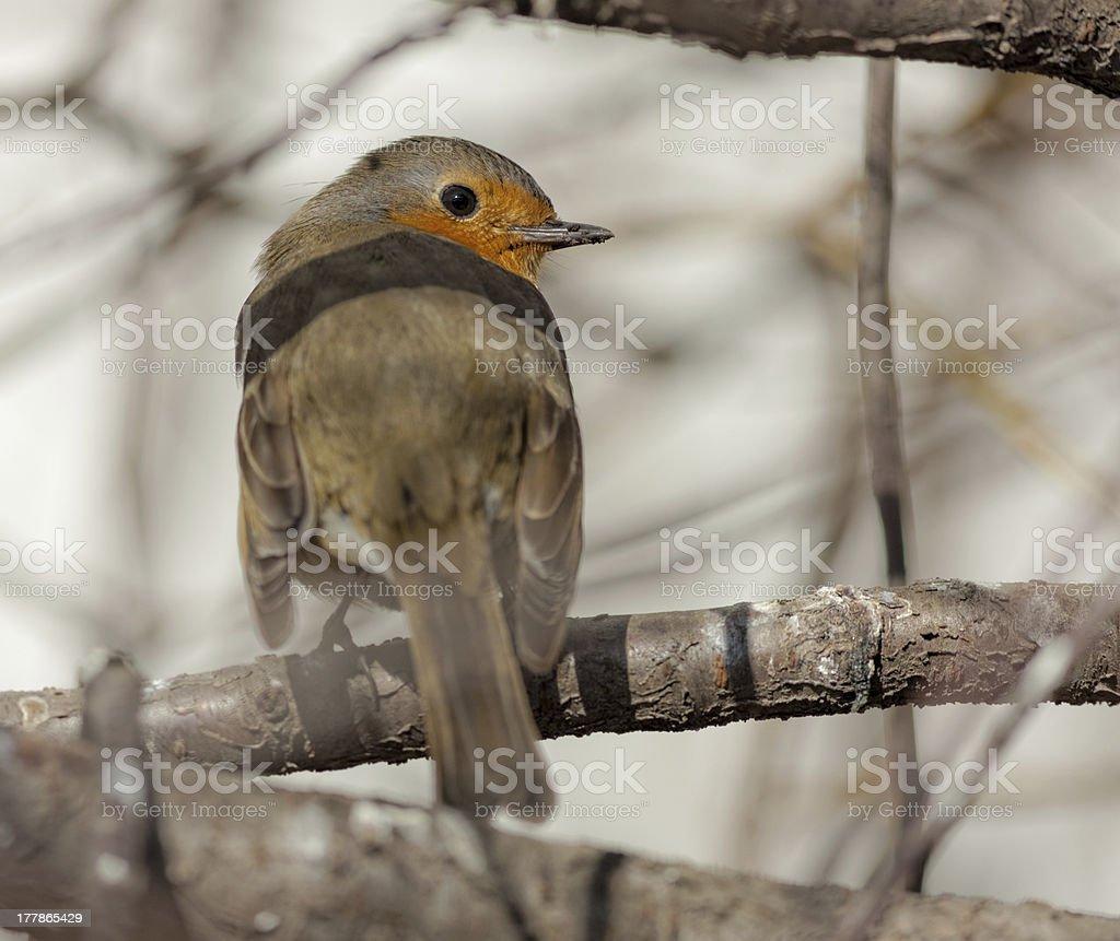 curious robin closeup royalty-free stock photo
