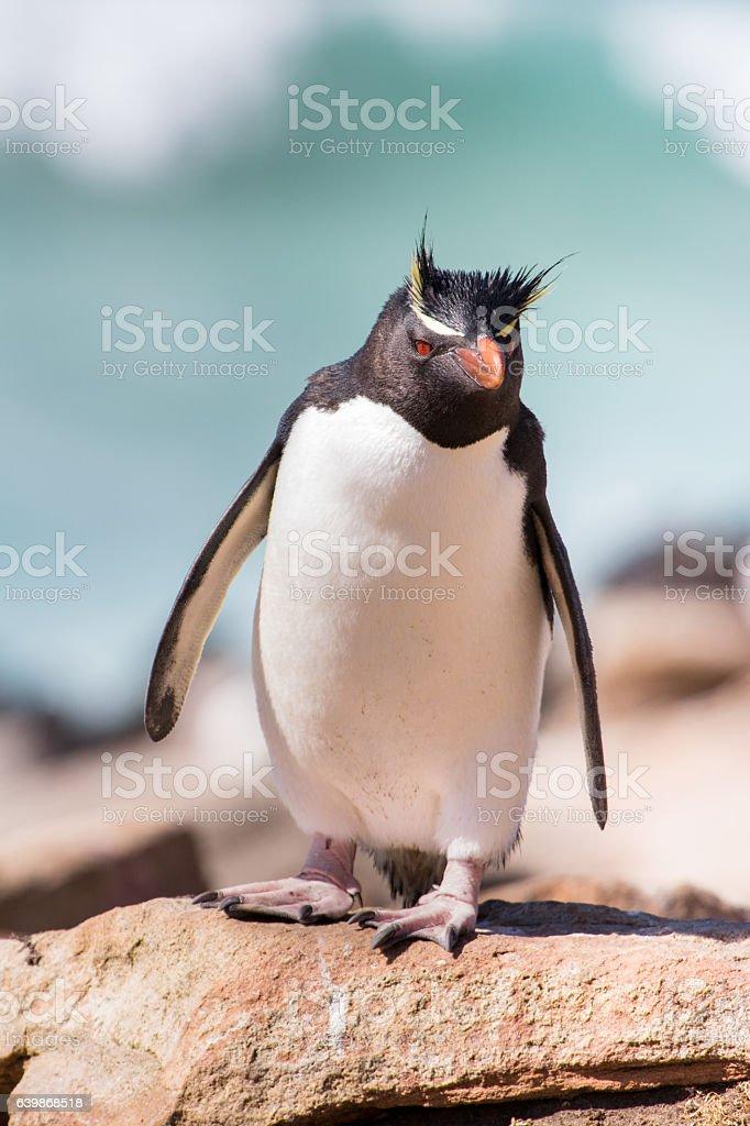 Curious rockhopper penguin stock photo