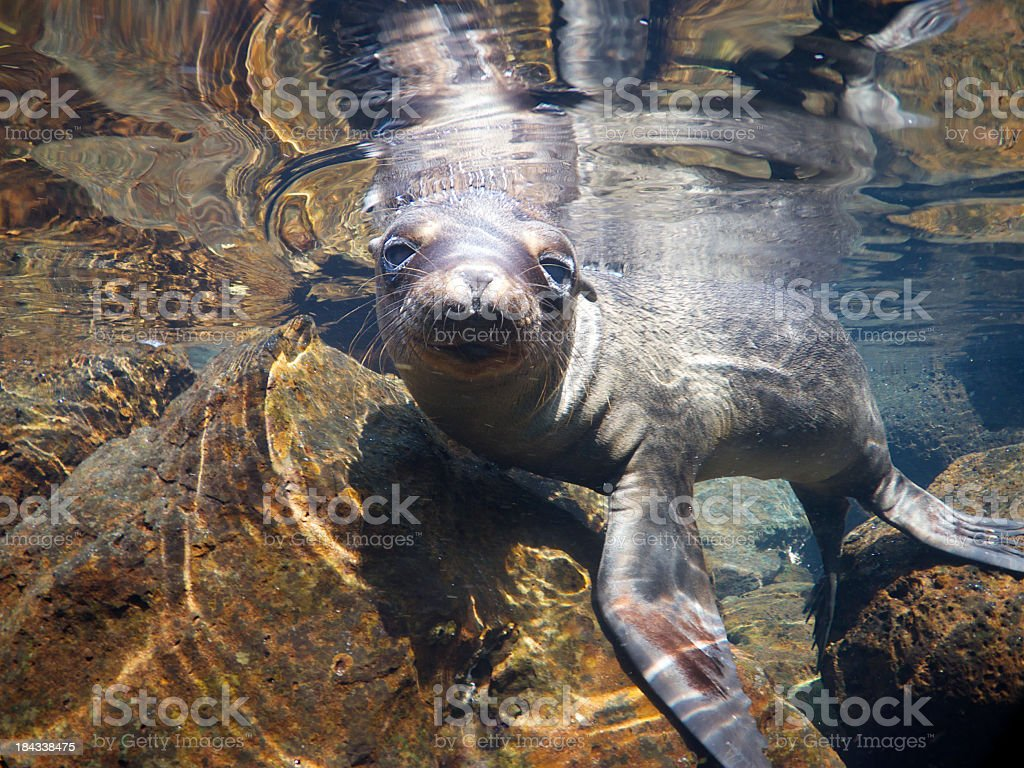 Curious Sea Lion Peeks at Camera Underwater stock photo