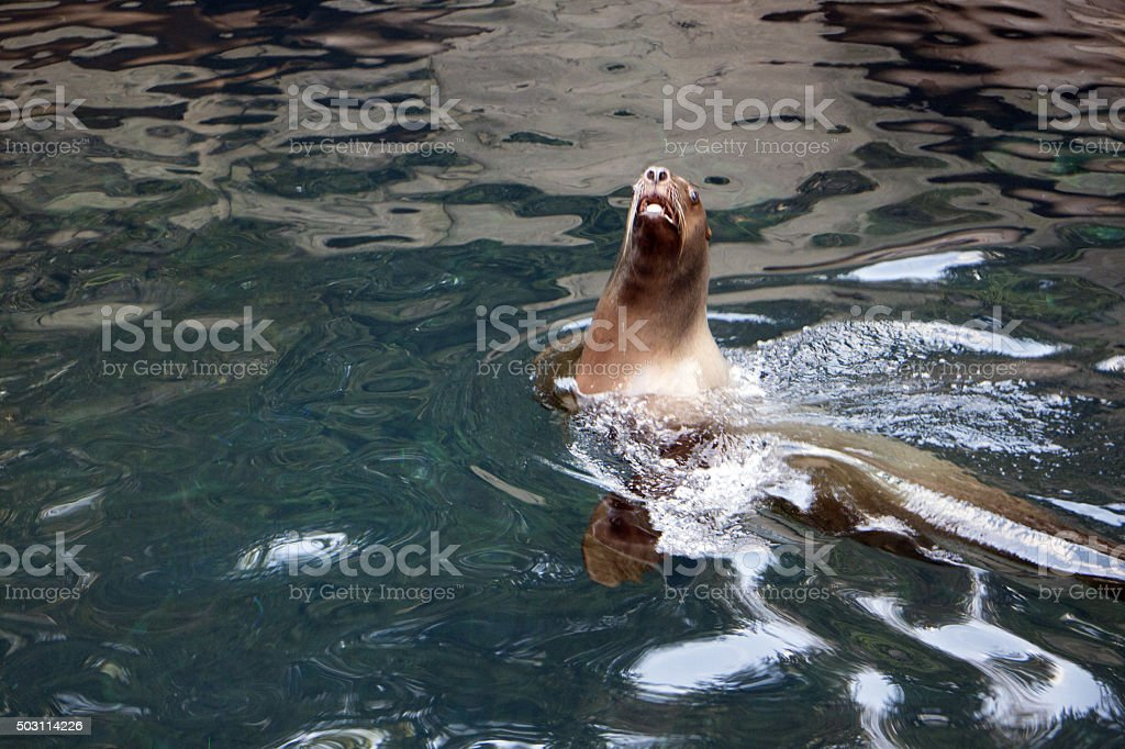 Curious Sea Lion stock photo