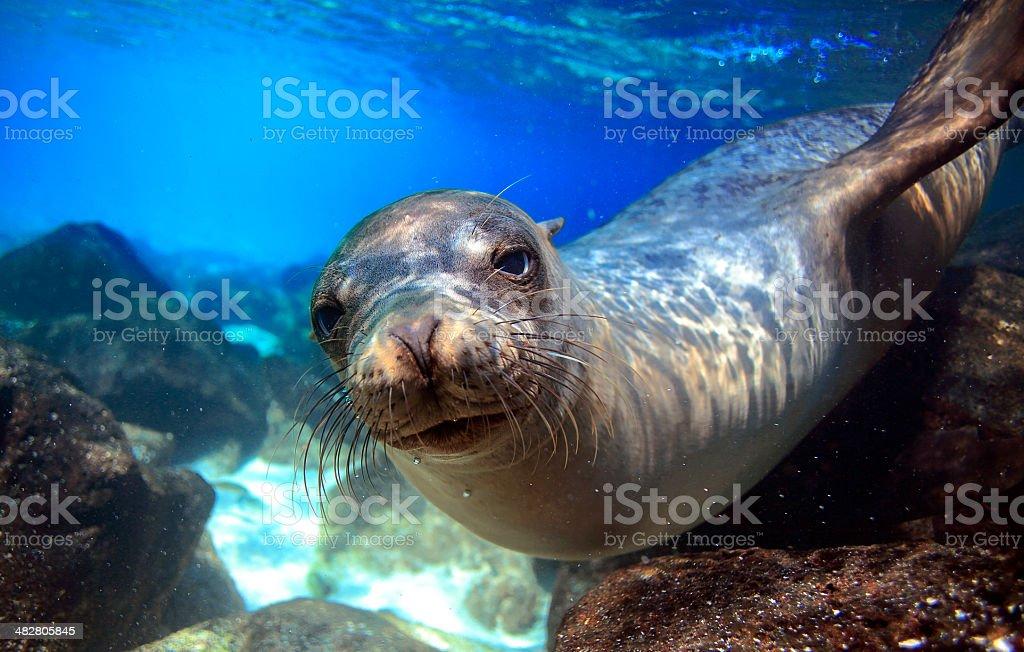 Curious sea lion underwater stock photo