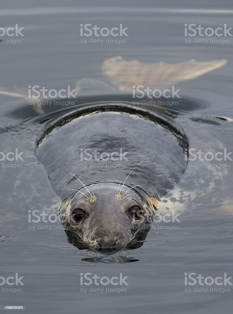 Curious seal in the water stock photo