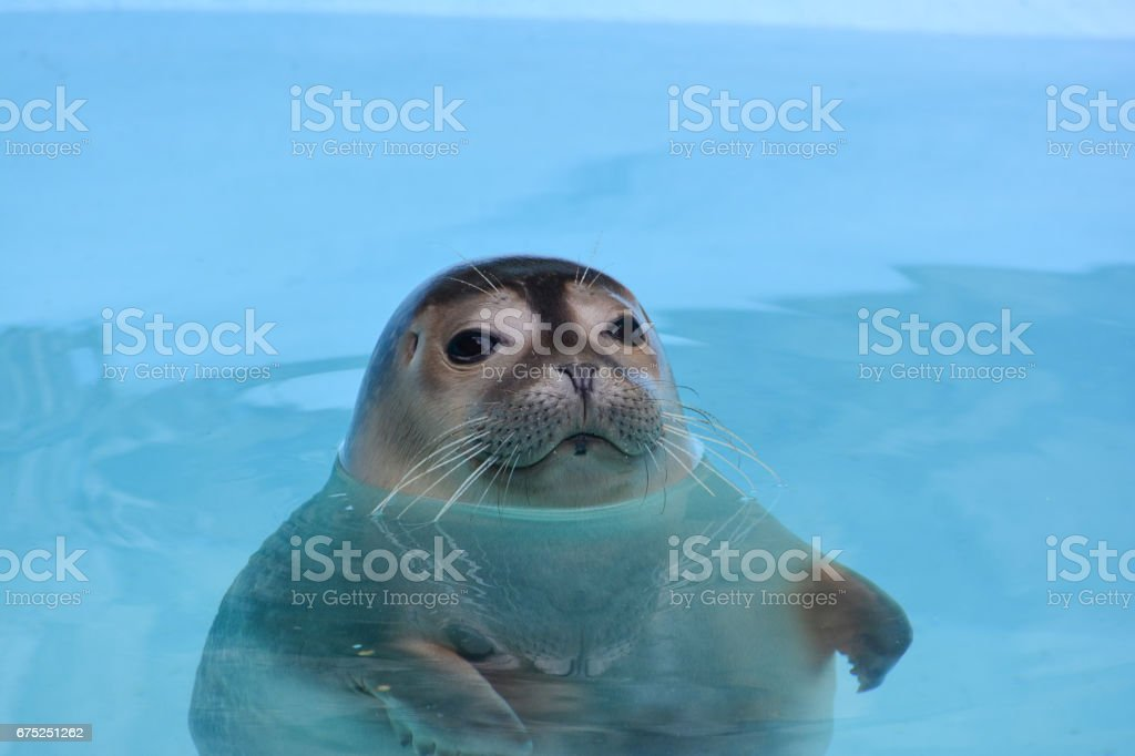 Curious seal looking straith stock photo