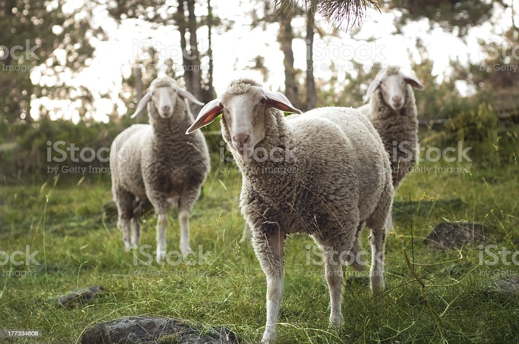 Curious sheep royalty-free stock photo