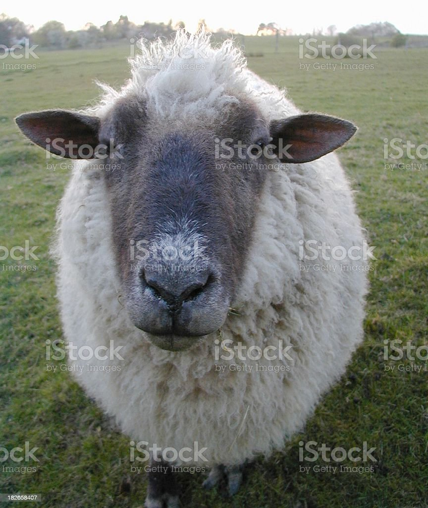 Curious Sheep royalty-free stock photo