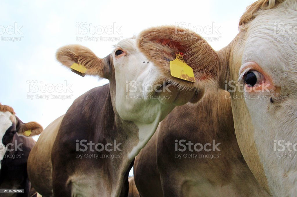 Curious Simmental stock photo