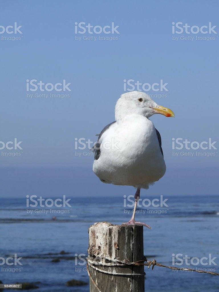 curious single leg seagull stock photo